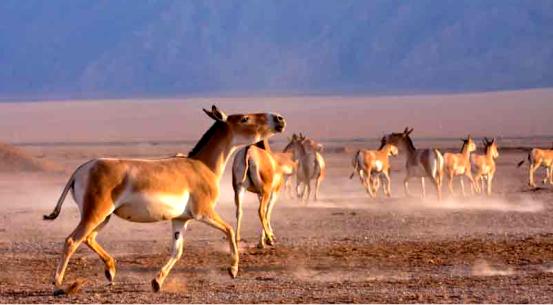 گورخر ایرانی در بهرام گور افزایش یافت